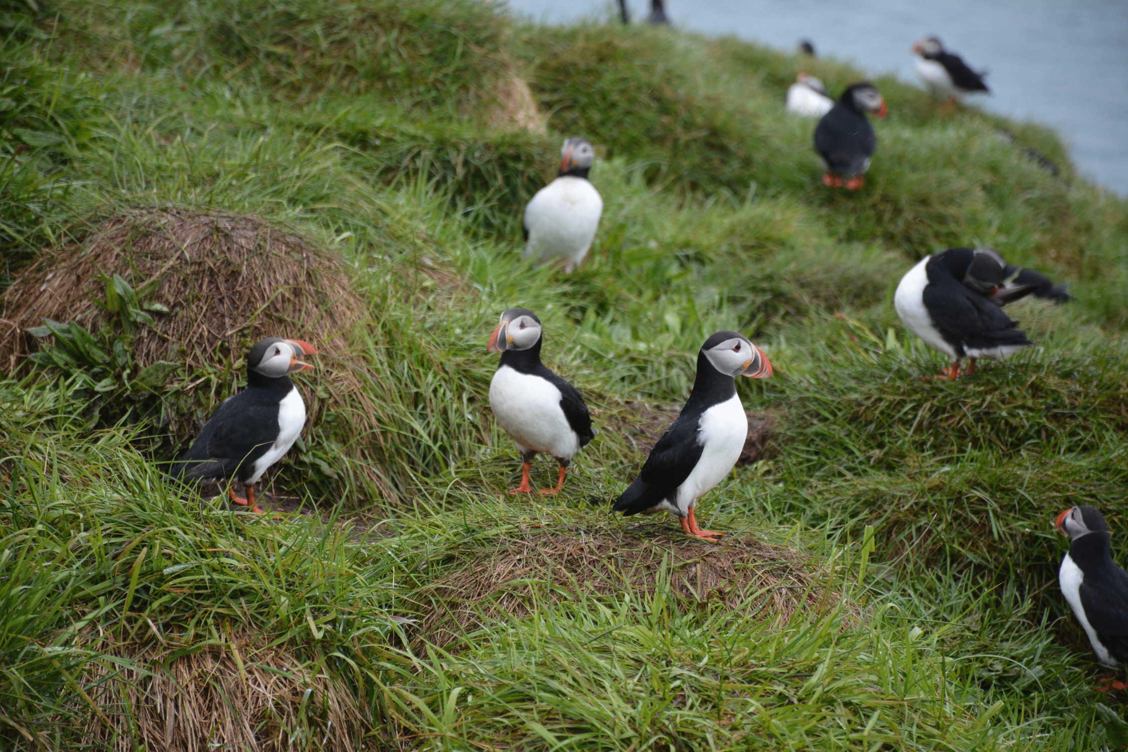 na výbežku do oceánu hniezdili stovky morských vtákov