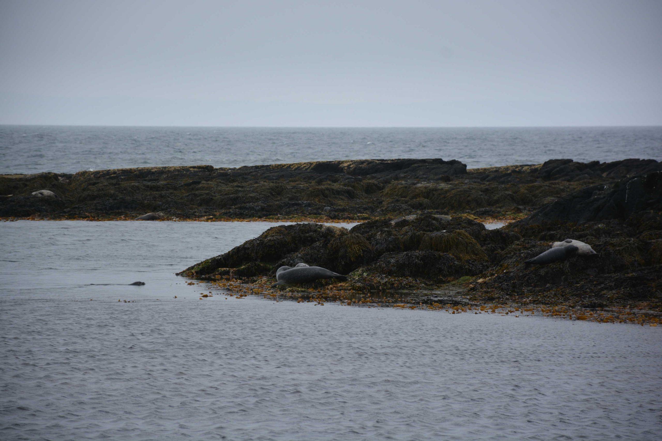 kolónia tuleňov pri farme Illugastadir